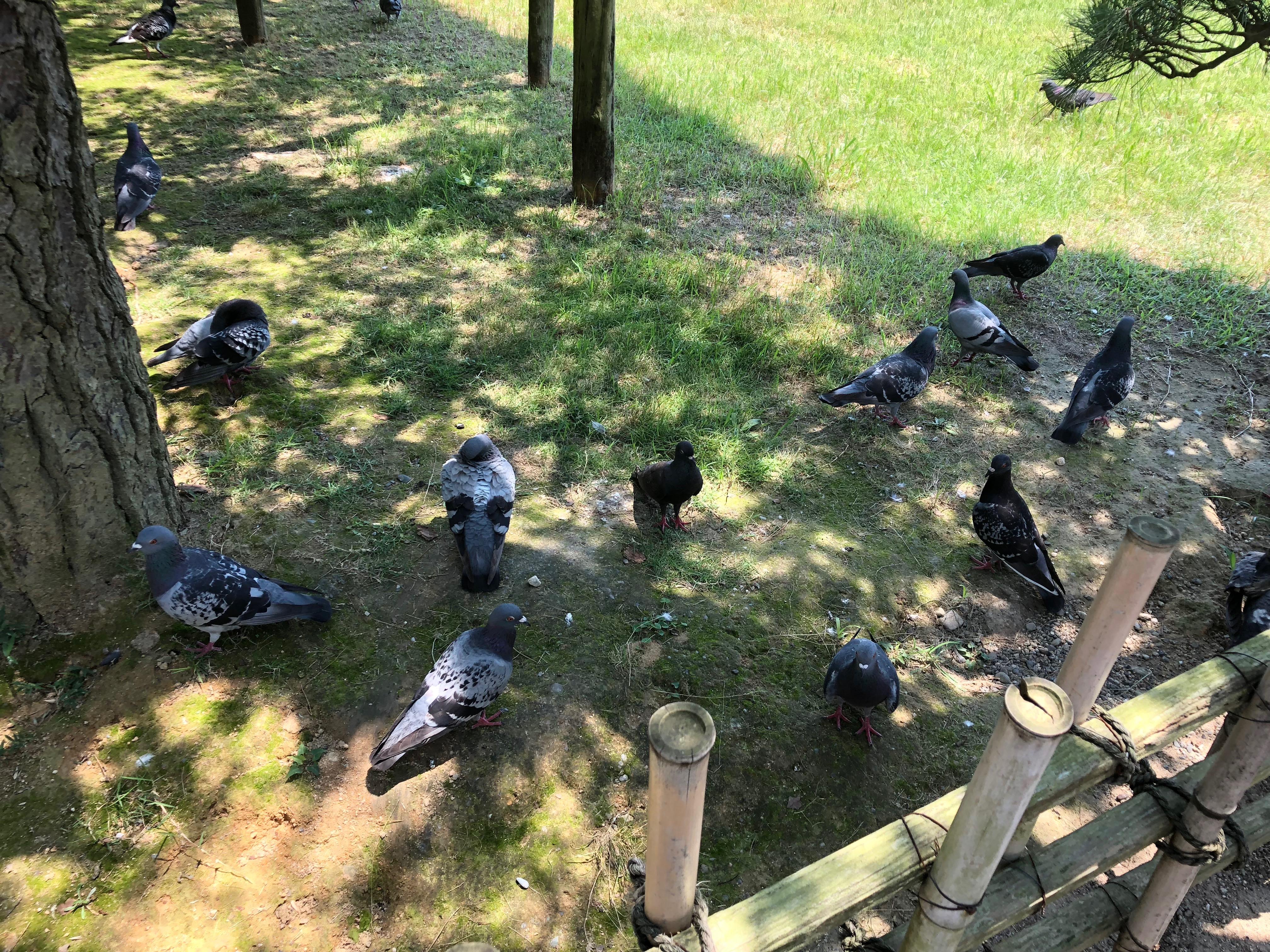 栗林公園の鳩